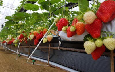 Sistemi gajenja jagoda – u plastenicima, hidroponski i na otvorenom polju