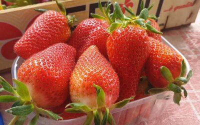 Kako pokrenuti proizvodnju jagoda – svi odgovori na jednom mestu