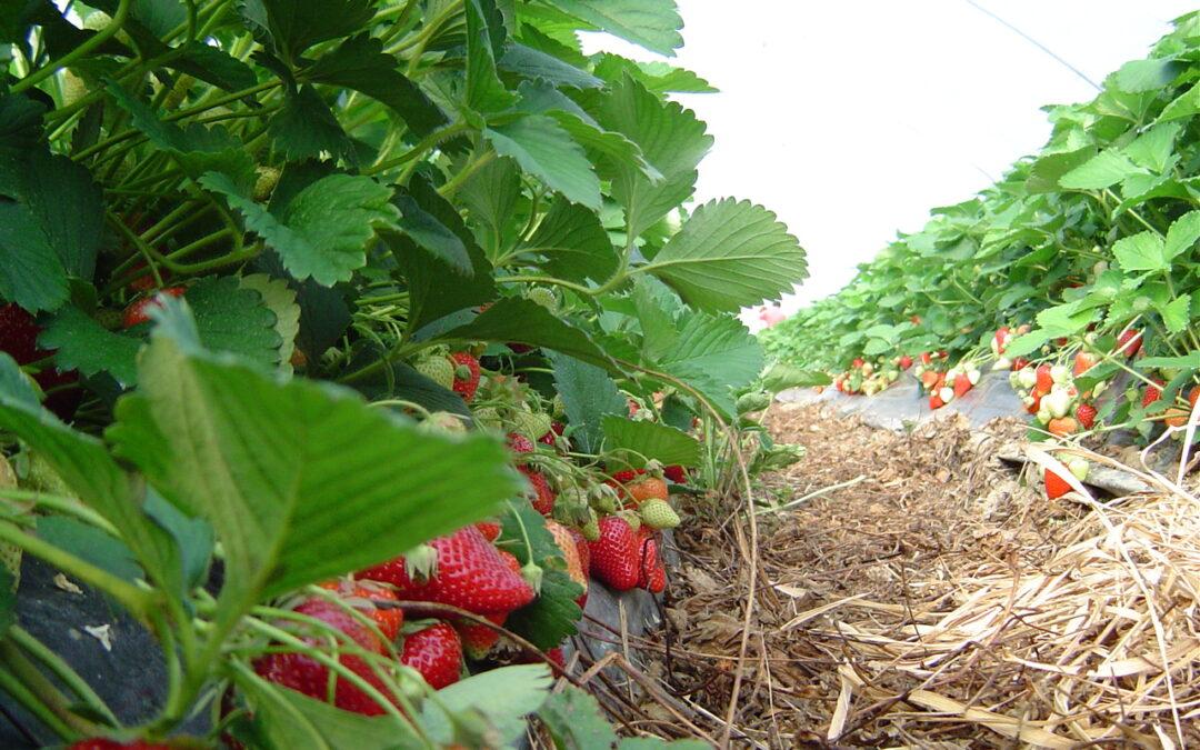 Zasad jagoda na foliji, u berbi, sa puno zreleih plodova.