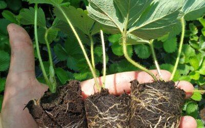 Koje se sadnice jagoda najviše isplate? – Zelene tkz.cupane sadnice, kontejnerske ili frigo?
