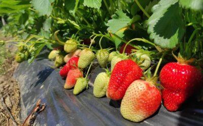 Rezultati uradjenog oglednog polja: ostvareni efekti primene mikrobioloskih djubriva u proizvodnji jagoda